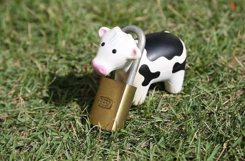 6-24 Padlocked Cow