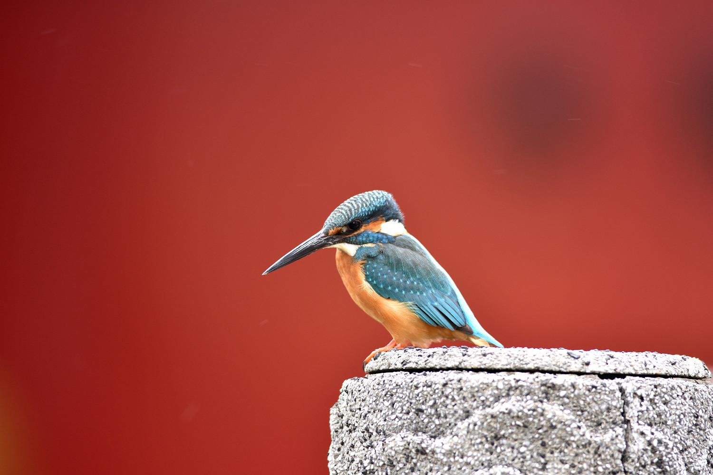 Common_Kingfisher_9202