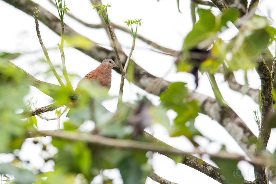 Ruuge, värbtuvi, Columbina, talpacoti, Columbigallina, Ruddy, Ground-dove, Ground, Dove, Cinnamon, Stone, Blue-headed, Caño, Negro, Wildlife, Refuge, Costa Rica, Kaido Rummel