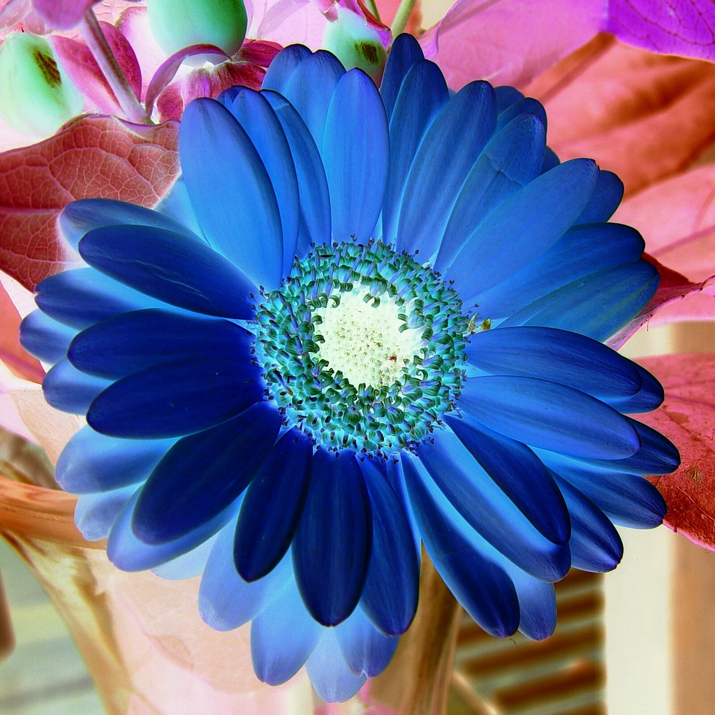 die blaue blume der romantik the blue flower is a. Black Bedroom Furniture Sets. Home Design Ideas