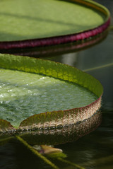 Leaves of water lily | by ebisoba