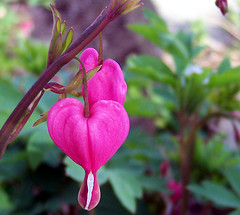 Bleeding Hearts | by Rachel Pennington