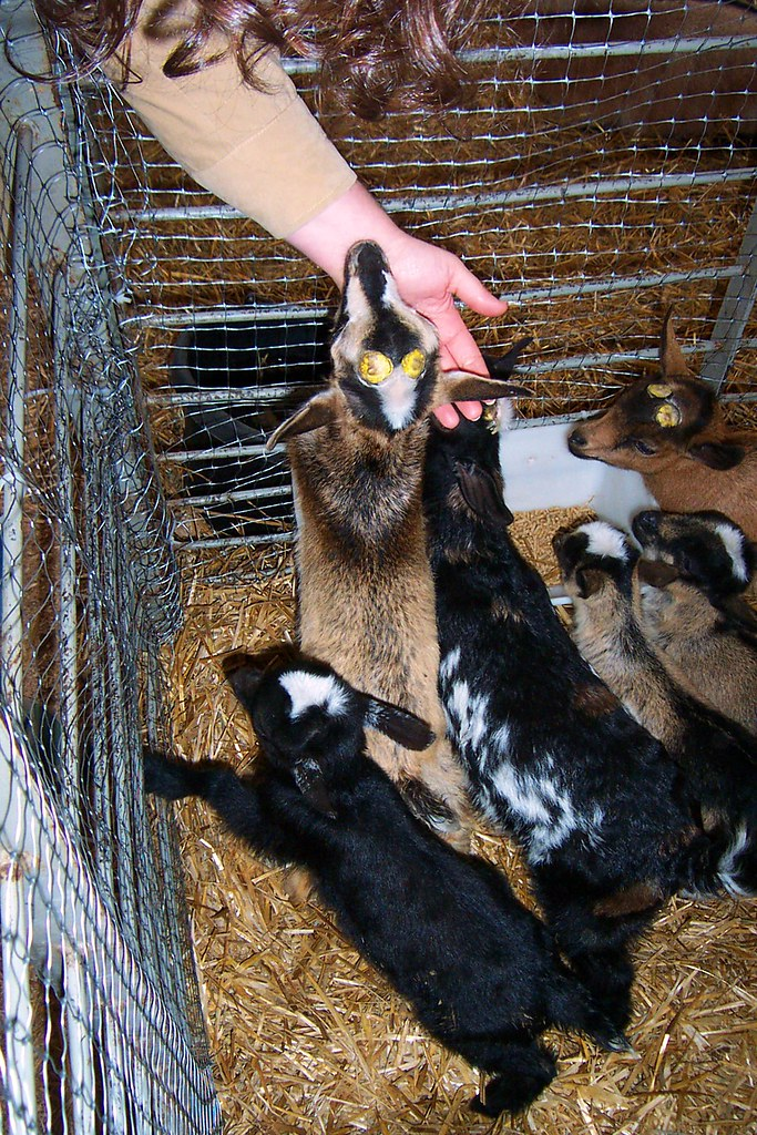 Nigerian Dwarf Goats | Are the insides of goat horns ...