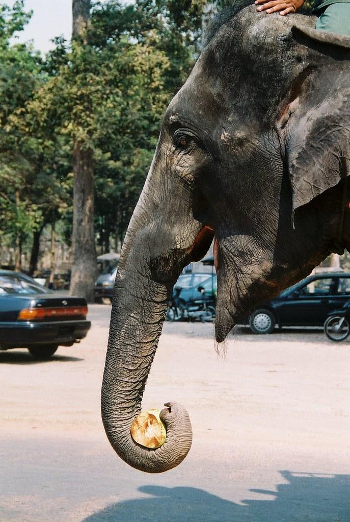 Elephant Eating Coconut Elephant Eating Coconut