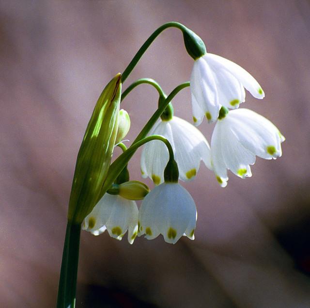 Texas Snowbells (Styrax platanifolius subsp. texanus)
