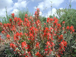 Chaparral Paintbrush, AV1 011 | by Anita363