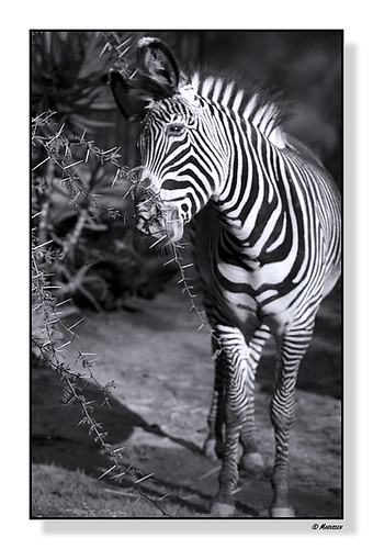 Zebra | by Marvs Images