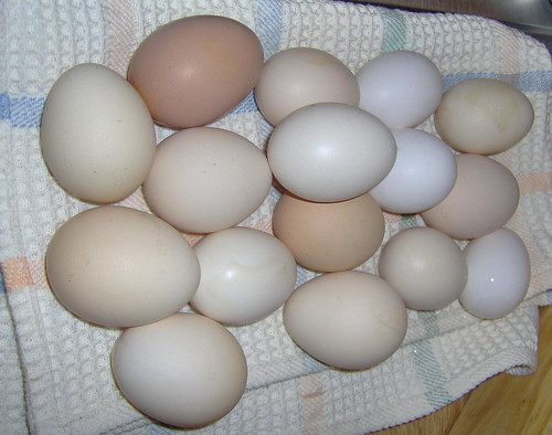 My chicken eggs chicken eggs on different color and for Why are chicken eggs different colors