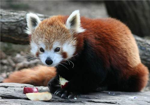 Red panda at lunch | by somesai