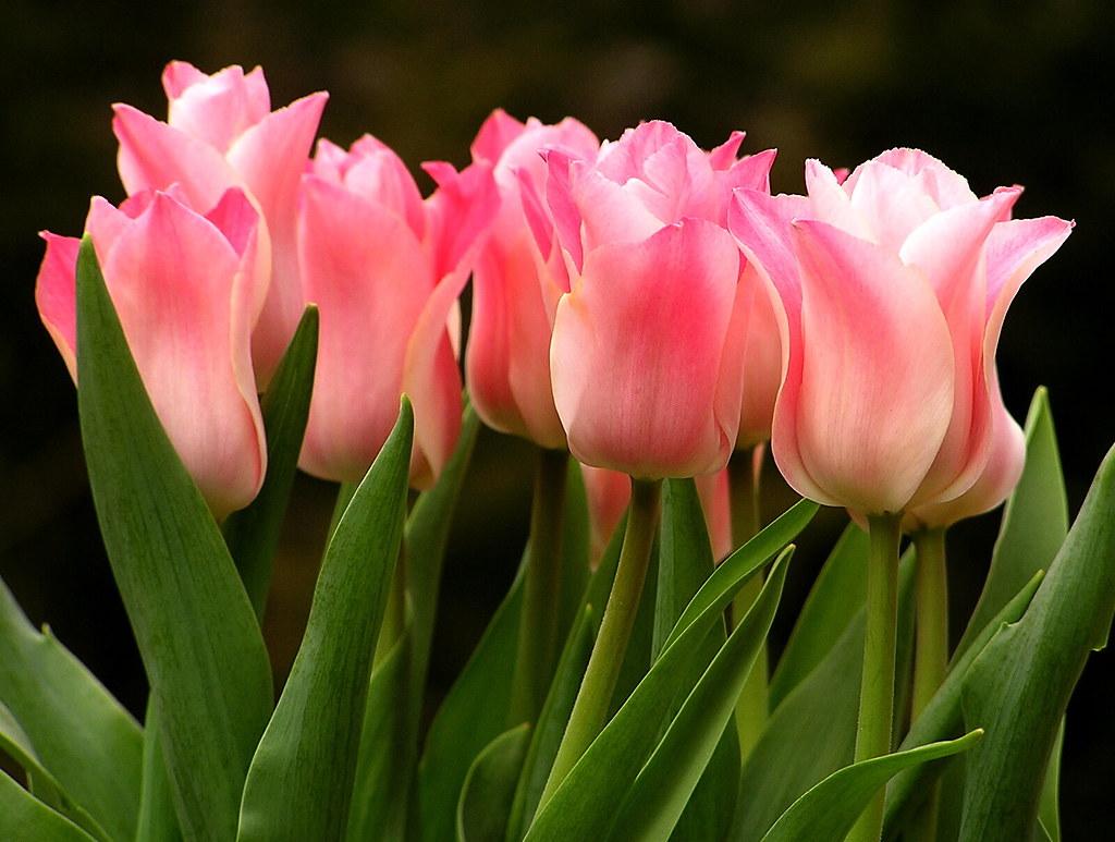 Tulips Dark Background