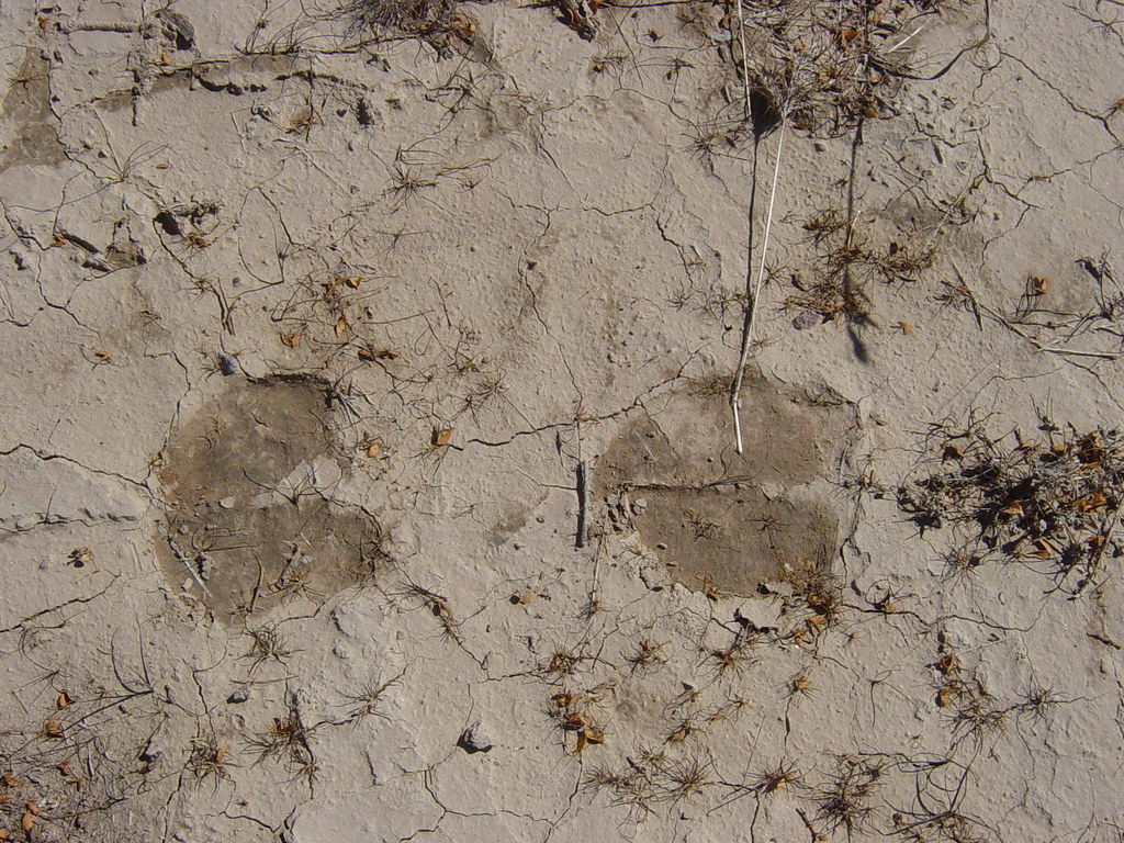 Cow footprints in mud | Cow footprints in some dried mud ...