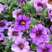 Purple Calibrachoa