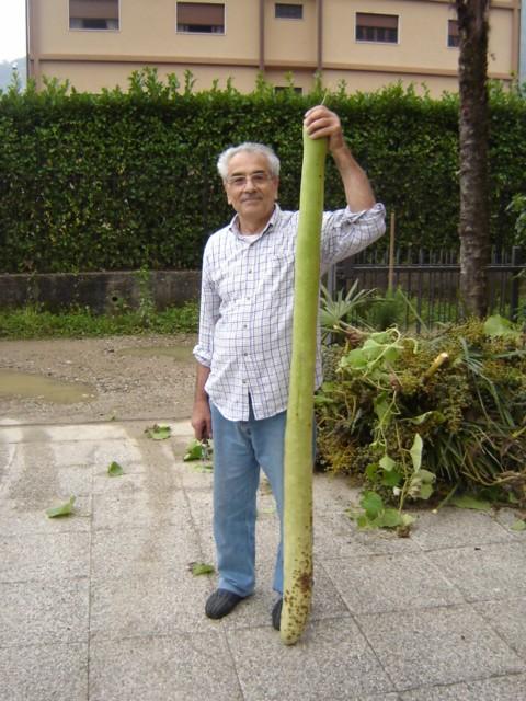 La zucchina gigante zucchina gigante raccolta da mio for La zucchina