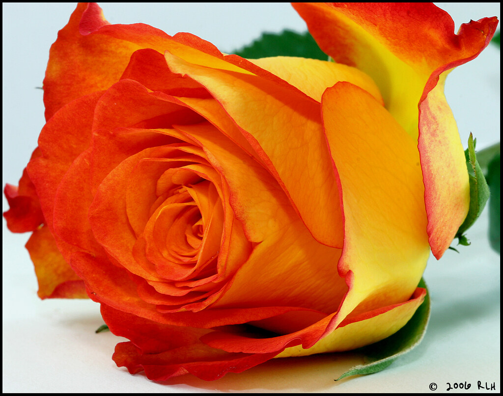 Yellow and Orange Rose | I thought this was a beautiful ...