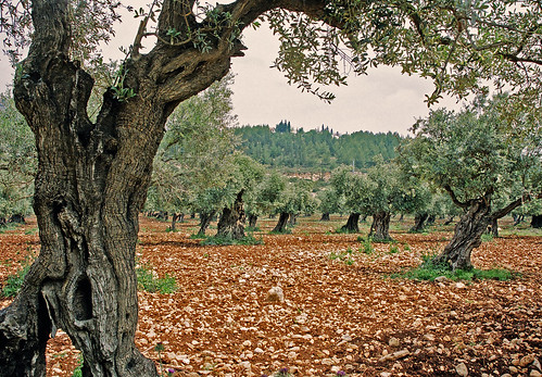 Olive trees | by chany14