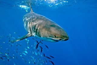 White Shark 3 | by ScottS101