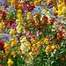 Wallflowers, Terrace Gardens, Richmond