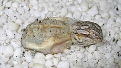 Hatching QT | by The Horned Jack Lizard