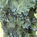 lichens on maple tree bark 2