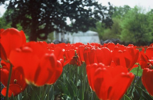 Life and Death of the Common Tulip | by melanie.phung
