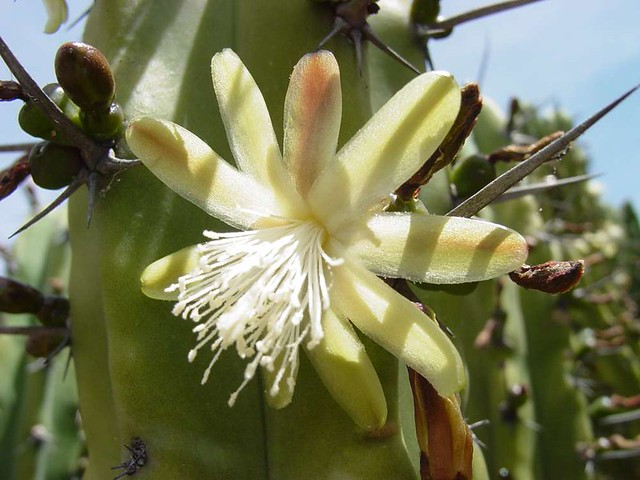 Myrtillocactus geometrizans flor | Nombre común ...