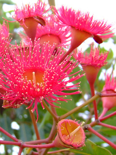 eucalyptus flower | by Vanessa Pike-Russell