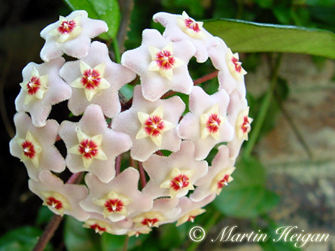 Hoya carnosa flowers | by Martin_Heigan