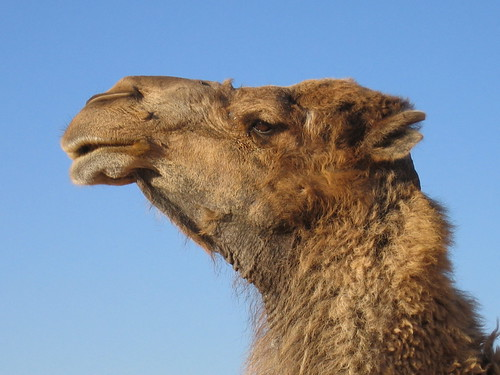 Camel | by Victoria Reay