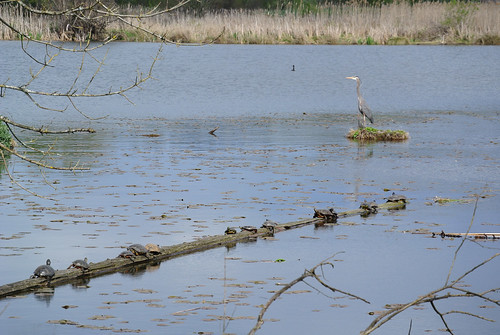 Early Spring Ride - Line of Turtles with Heron