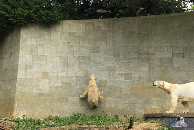 Eisbär Fiete im Zoo Rostock  302