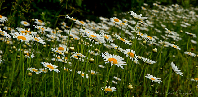 ox-eye daisies low res