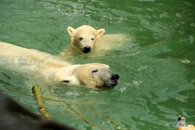 Eisbär Fiete im Zoo Rostock  66