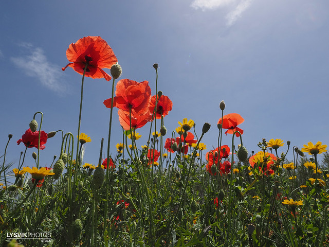 Poppies in flower field with blue sky