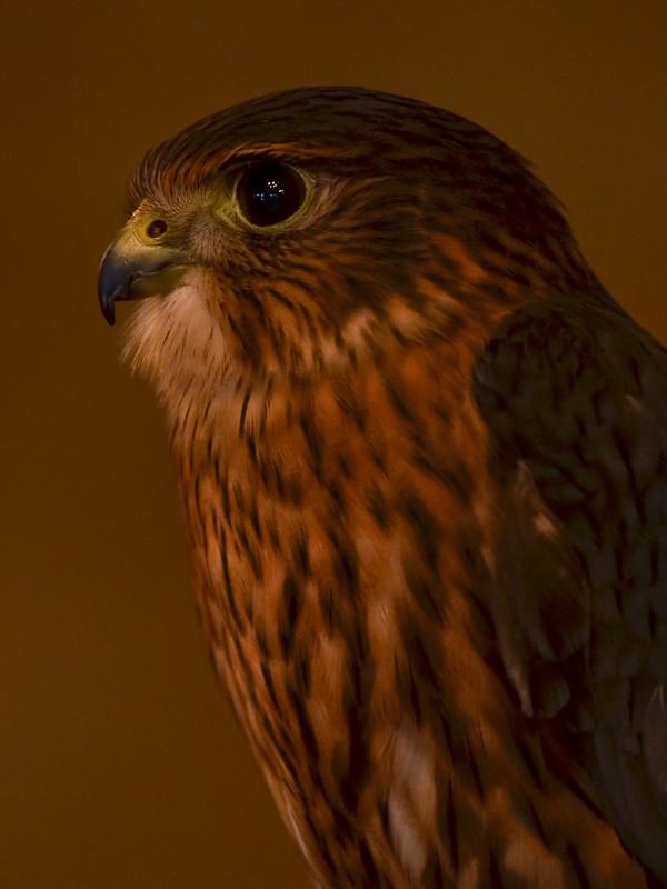 OWL - Merlin