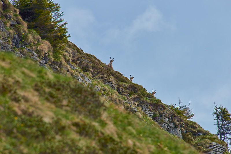 Looking for the alpha male - Niederhorn