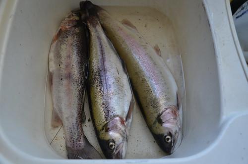 fresh trout June 15