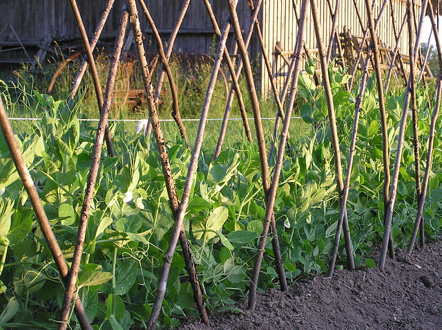 Pea Bed