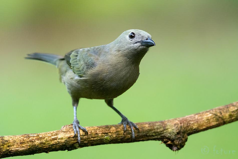 Thraupis, palmarum, Palm, Tanager, Palmiste, Green, jean, Sarapiqui, valley, Costa Rica, tangaara, palmitangaara, Kaido Rummel