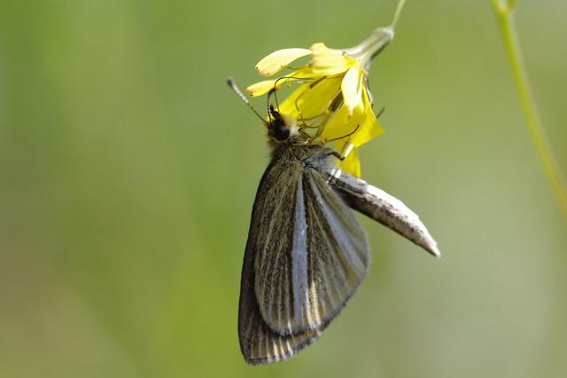 Leptalina unicolor