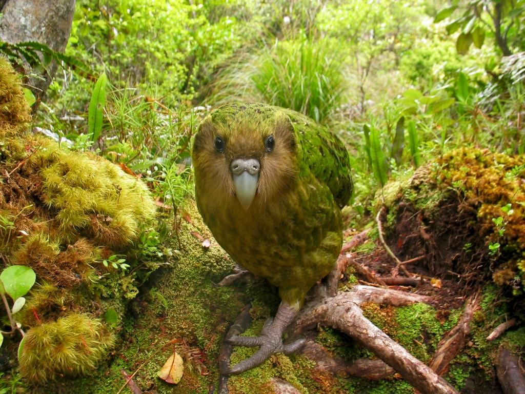 Kakapo Bird HD Wallpaper | Free Download Kakapo Bird HD ...