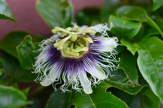 DSC_0005 Passion fruit  パッションフルーツ  Passiflora edulis Sims