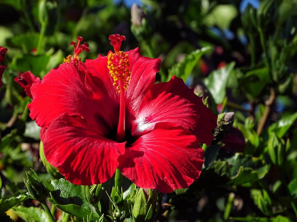 Hibiscus Flower James Brennan Hawaii 3 James Brennan Flickr