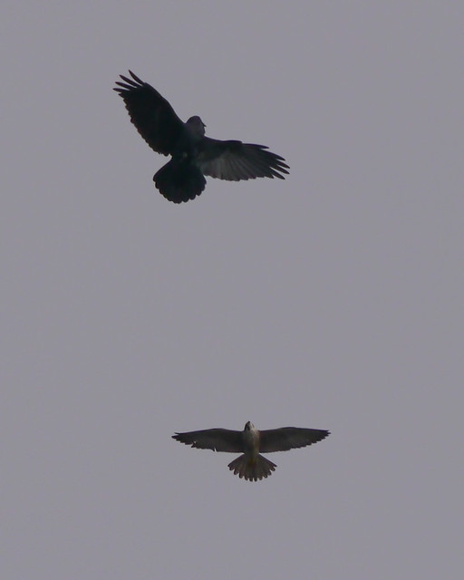 Common Raven and Peregrine Falcon - 1