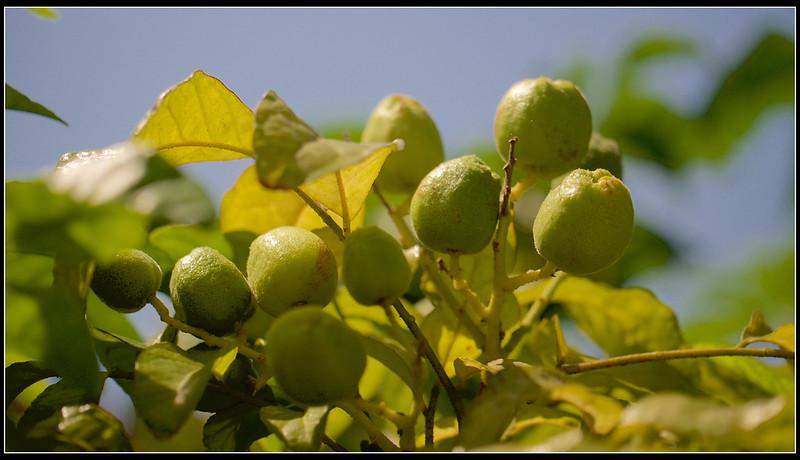 黃果-P1120798 (1)