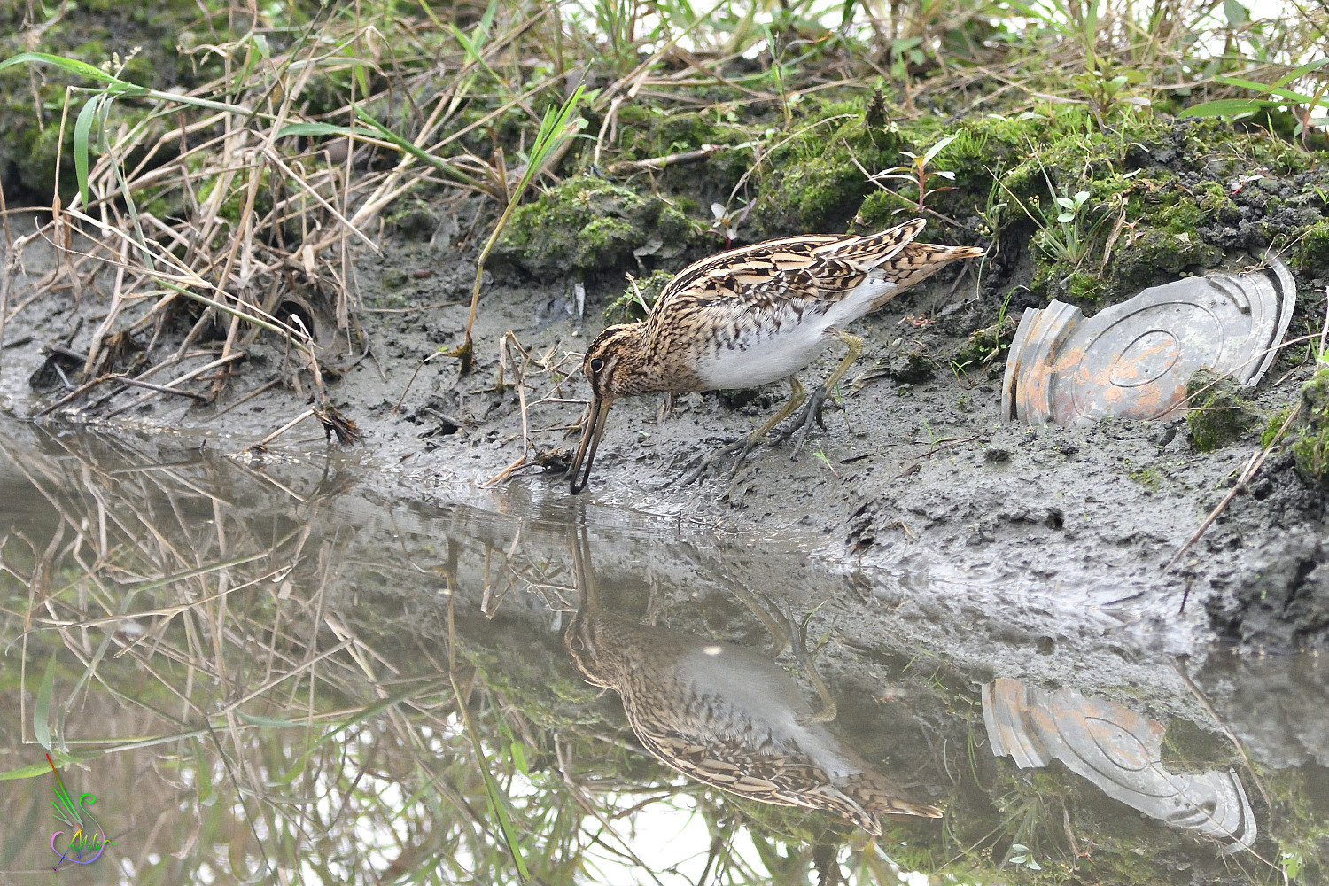 Common_Snipe_6263