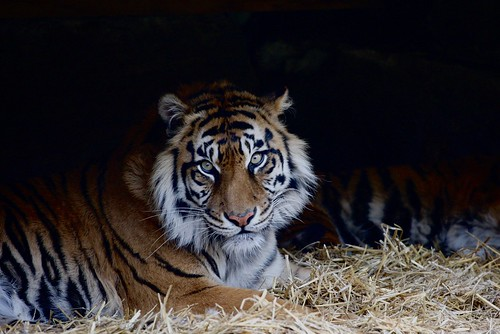 Tiger - Toronto Zoo | by dr mitch