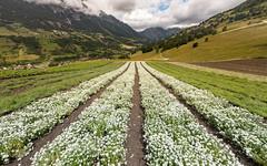Edelweiss Field
