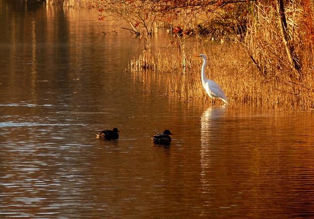 Silberreiher***great white egret***Egretta alba