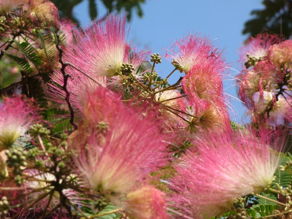 Albizia Julibrissin Aka Persian Silk Tree Flowering With B Flickr