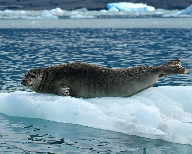 León marino en un bloque de hielo de la laguna de Jökulsárlón